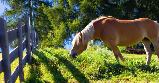 Scopri l 39 avelignese un cavallo altoatesino for Cavalli bolzano